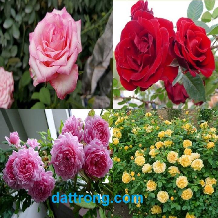 đất trồng hoa hồng