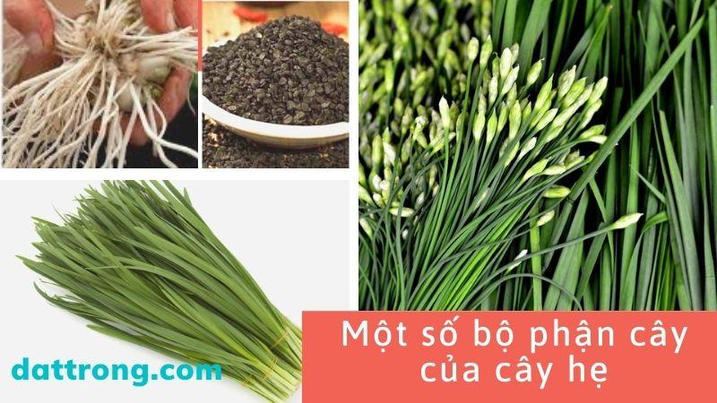 đặc điểm của cây hẹ-cách trồng hẹ tại nhà