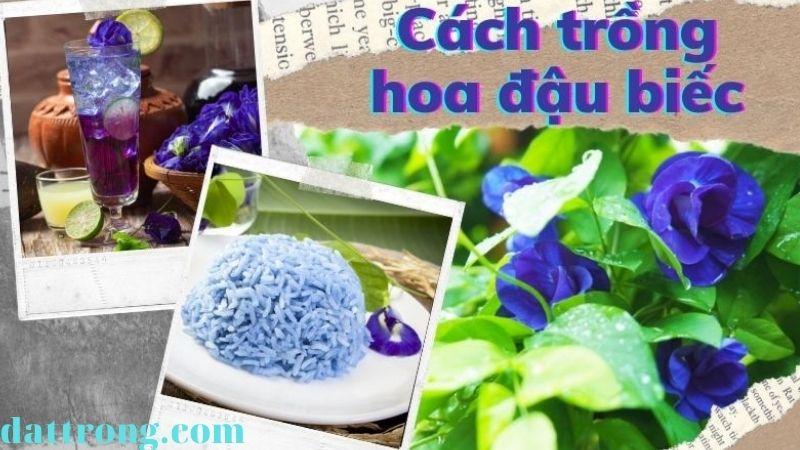 Cách trồng hoa đậu biếc bằng hạt để làm nhiều món ngon