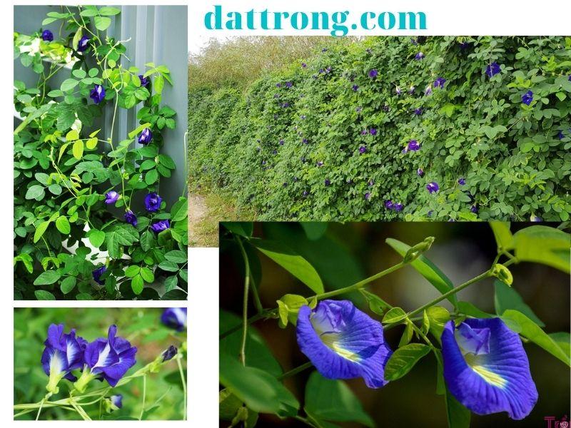 cách trồng hoa đậu biếc lớn nhanh
