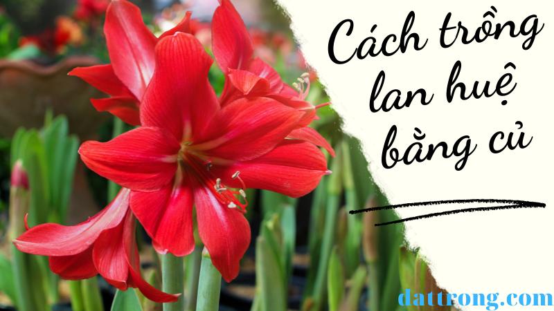 Cách trồng lan huệ bằng củ và ý nghĩa của hoa lan huệ