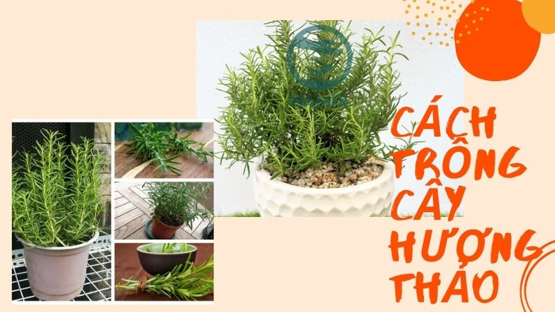 Cách trồng cây hương thảo bằng phương pháp giâm cành và chăm sóc