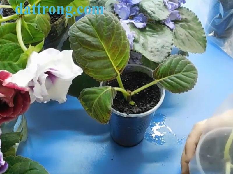 Cách trồng và cham sóc hoa tử la lan