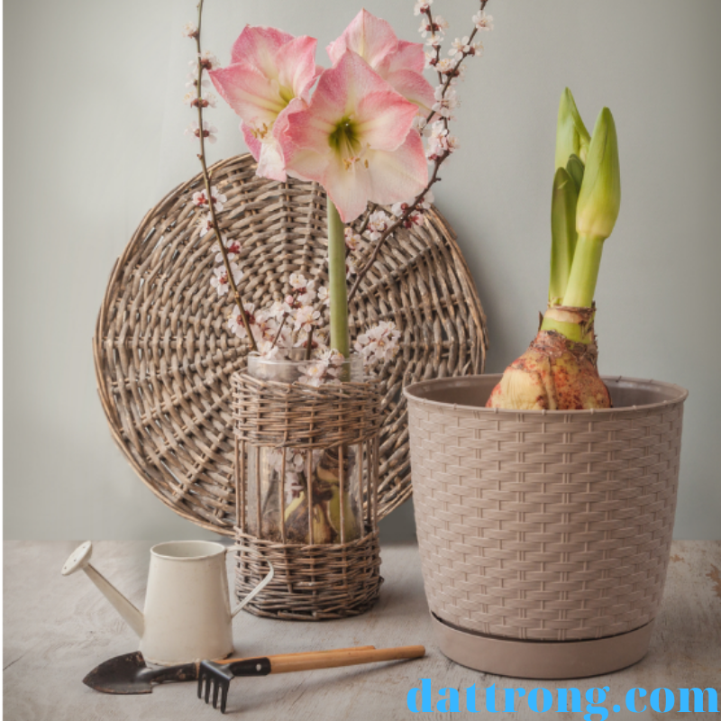 chuẩn bị trồng hoa lan huệ