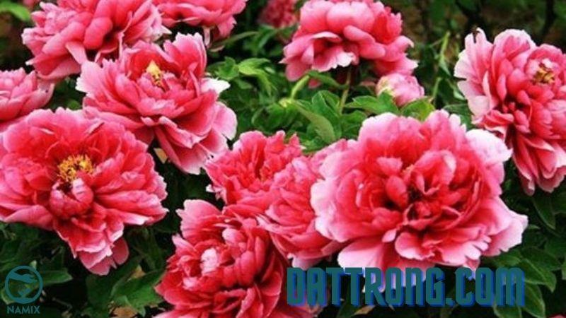 Cách trồng hoa mẫu đơn và chăm sóc tại nhà