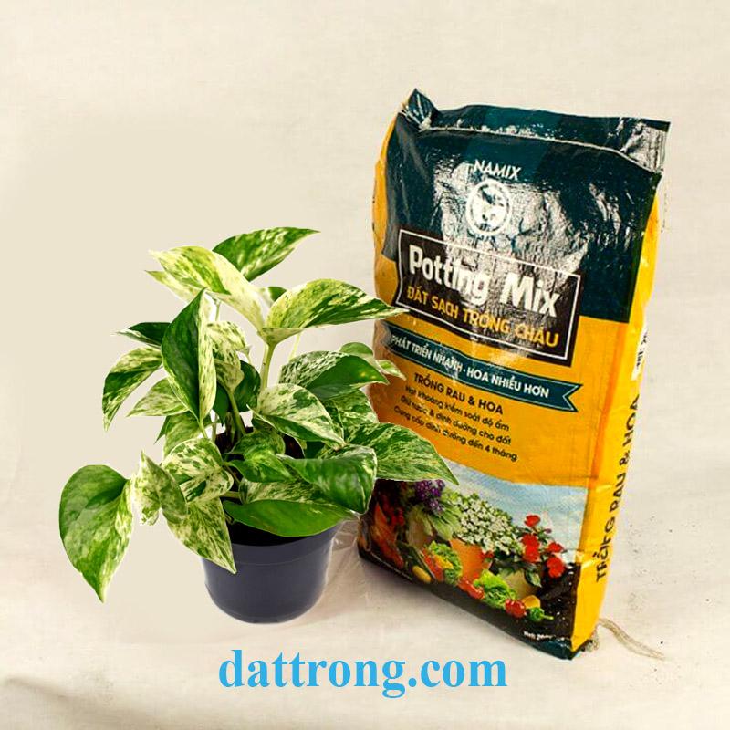trồng trầu bà với đất sạch namix