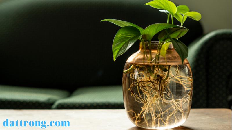 cách trồng cây trầu bà trong bình thủy tinh