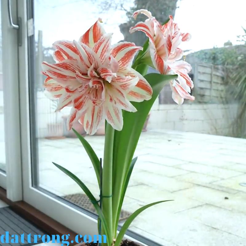 đặc điểm của hoa lan huệ
