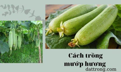 Cách trồng mướp hương đơn giản cho quả to và sai trĩu tại nhà