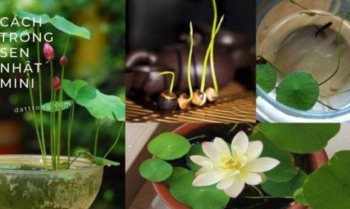 Cách trồng cây sen nhật mini ra hoa đẹp đơn giản tại nhà