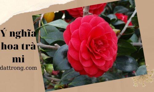 Ý nghĩa của hoa trà mi bạn đã biết những thông tin gì?