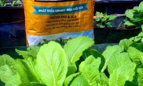 Cách trồng cải bẹ xanh để đạt năng suất cao nhất ngay tại nhà