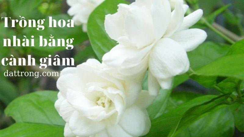 Trồng hoa nhài bằng giâm cành cho cây nhanh phát triển