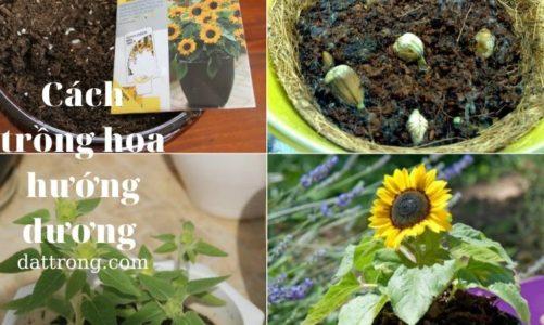 Cách trồng hoa hướng dương cho khu vườn của gia đình